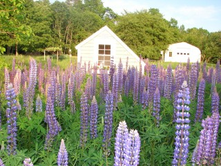 A lupine field is among the striking features.